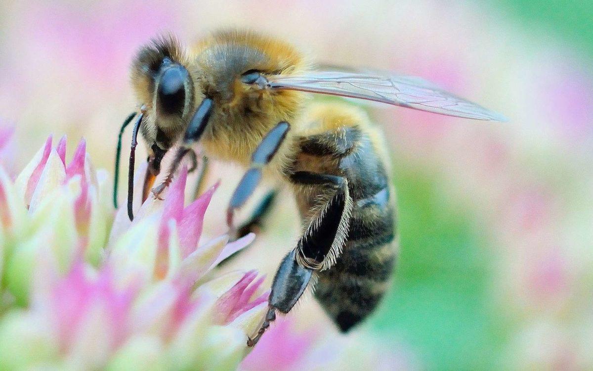 Nos abeilles se meurent, et c'est grave !